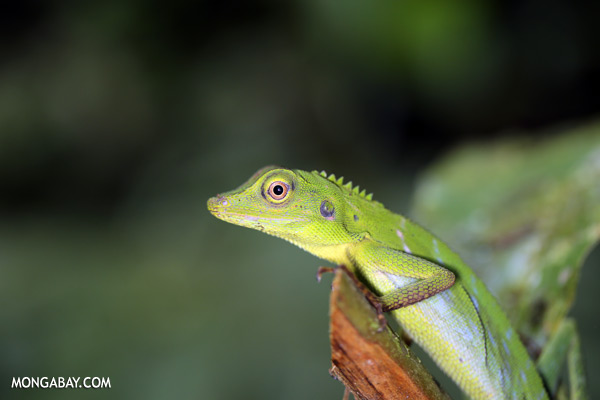 Green forest dragon [sabah_tawau_0206]
