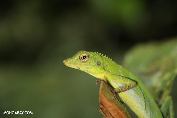 Green forest dragon [sabah_tawau_0207]