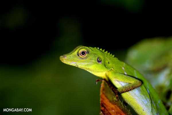 Green forest dragon [sabah_tawau_0208]
