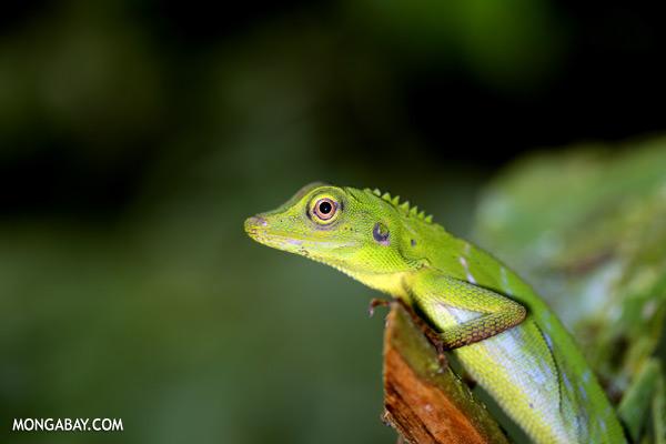 Green forest dragon [sabah_tawau_0209]