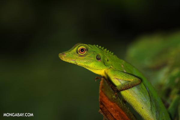 Green forest dragon [sabah_tawau_0211]