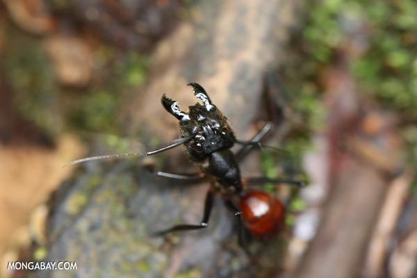 Ant [sabah_tawau_0237]