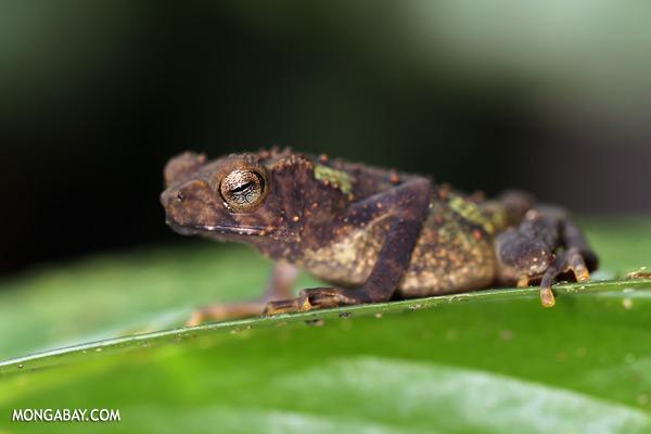 Juvenile Pedostibes hosii toad