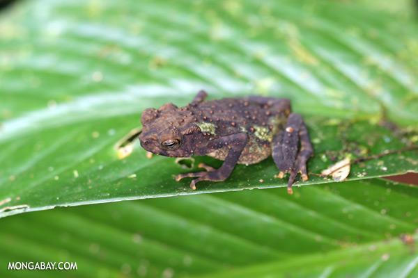Juvenile Yellow Spotted Climbing Toad (Pedostibes hosii) [sabah_tawau_0244]