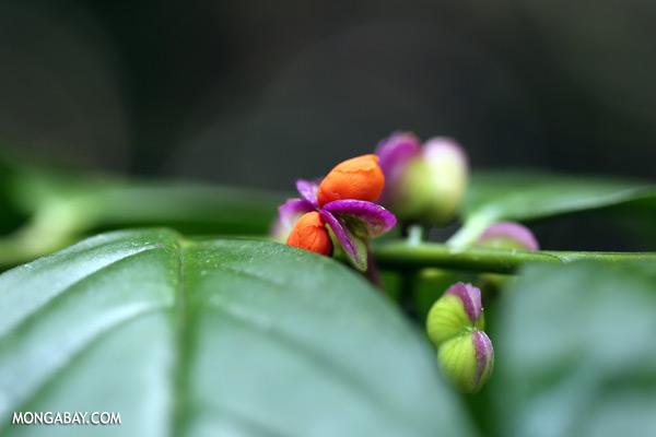Orange and purple flower [sabah_tawau_0303]