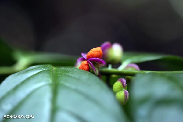 Orange and purple flower [sabah_tawau_0304]