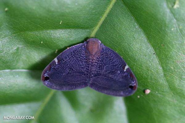 Purple moth [sabah_tawau_0326]