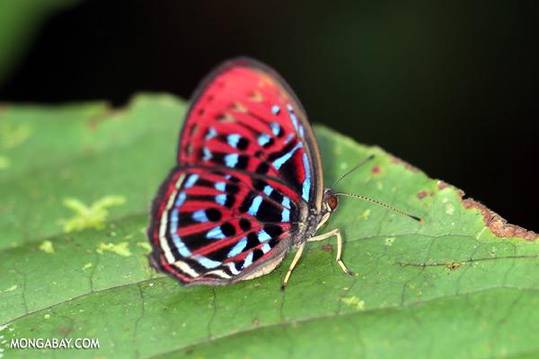Red Malay harlequin butterfly [sabah_tawau_0342]