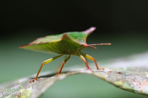 Shield bug [sabah_tawau_0361]