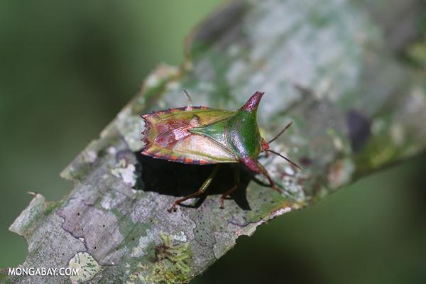 Shield bug [sabah_tawau_0364]