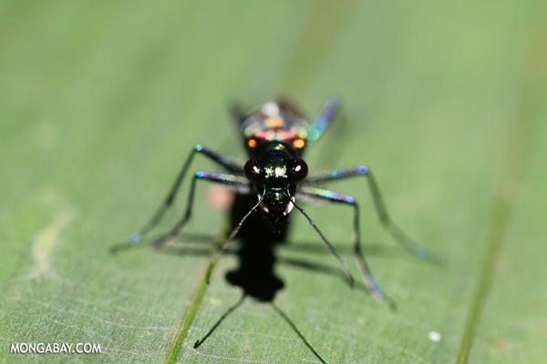 Tiger beetle in Malaysia [sabah_tawau_0401]