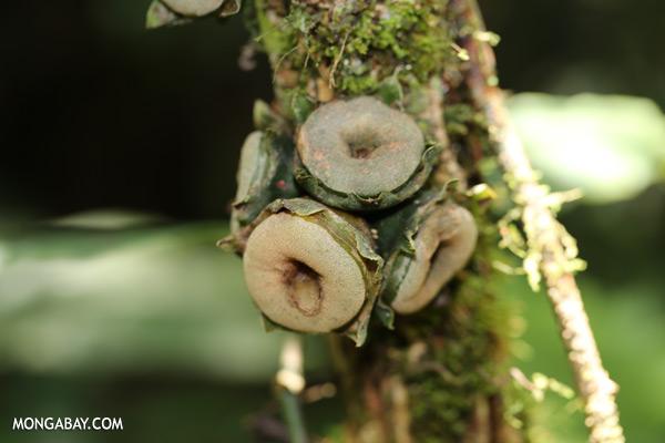 Green cauliflorous growths [sabah_tawau_0424]