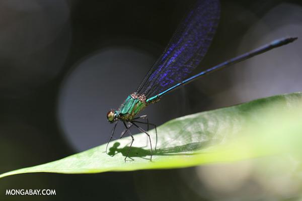 Green damselfly [sabah_tawau_0435]