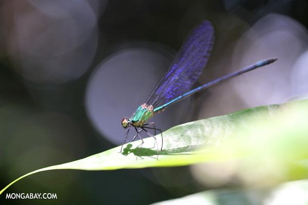 Green damselfly [sabah_tawau_0438]