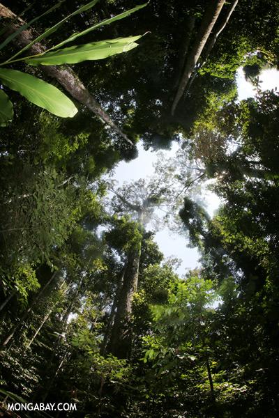 World's tallest rainforest tree