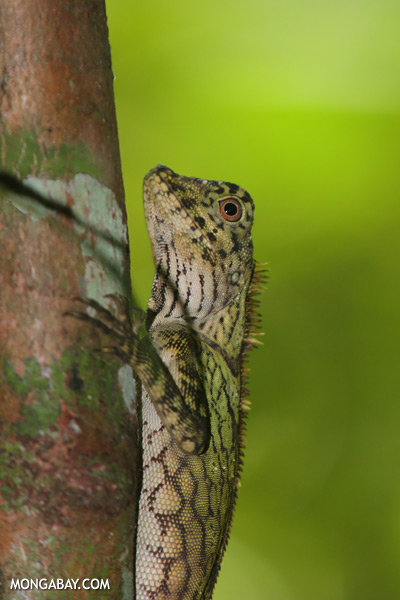 Forest dragon [sabah_tawau_0485]