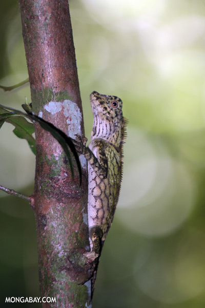 Forest dragon [sabah_tawau_0489]