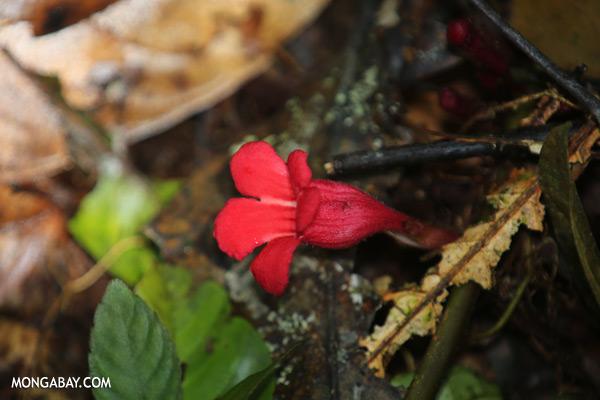 Red understory flowers in Borneo [sabah_tawau_0515]