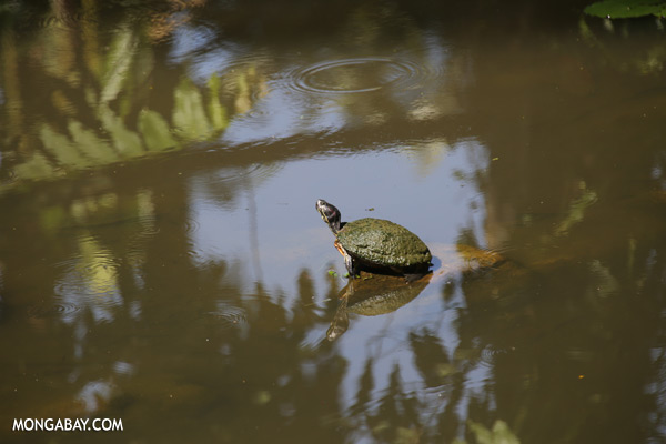 Malaysian freshwater turtle [sabah_tawau_0535]