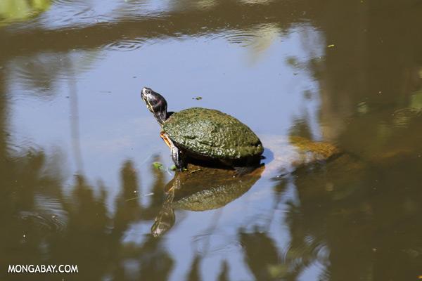 Malaysian freshwater turtle