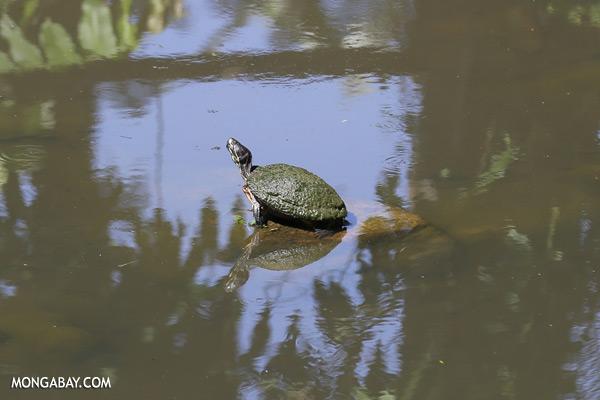 Malaysian freshwater turtle [sabah_tawau_0538]