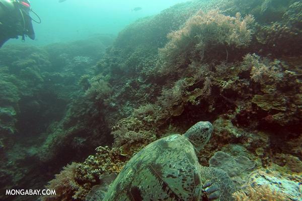 Sea turtle [sabah_underwater_0045]