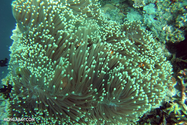 Coralscape in Sabah [sabah_underwater_0060]