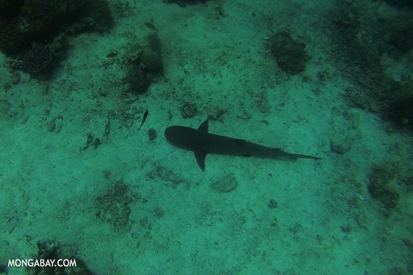 Shark [sabah_underwater_0099]