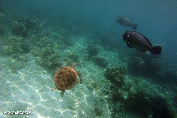Sea turtle [sabah_underwater_0132]