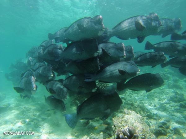 Green humphead parrotfish [sabah_underwater_0155]