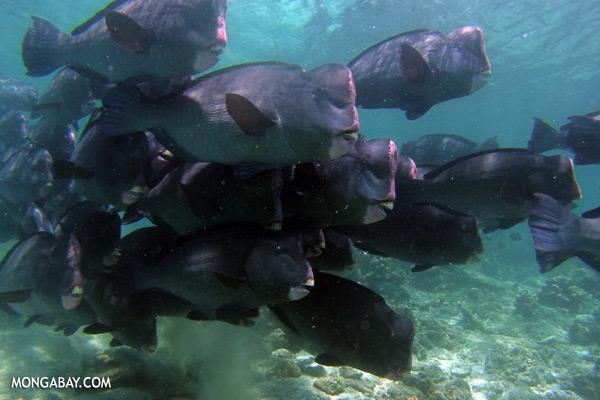 Green humphead parrotfish [sabah_underwater_0161]