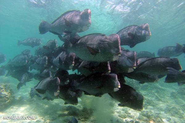 Green humphead parrotfish [sabah_underwater_0164]