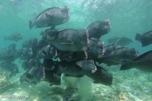 Green humphead parrotfish [sabah_underwater_0168]