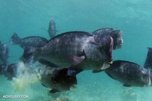 Green humphead parrotfish [sabah_underwater_0170]