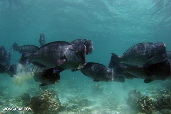Green humphead parrotfish [sabah_underwater_0172]