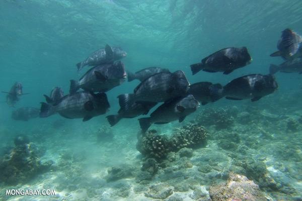 Green humphead parrotfish [sabah_underwater_0182]