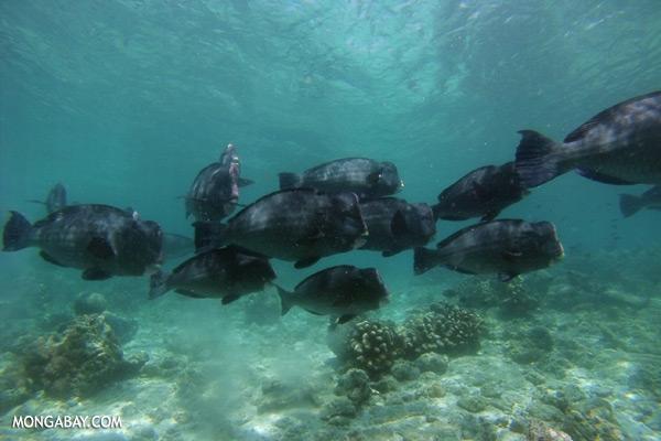 Green humphead parrotfish [sabah_underwater_0184]