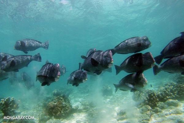 Green humphead parrotfish [sabah_underwater_0187]