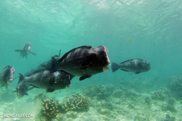Green humphead parrotfish [sabah_underwater_0195]