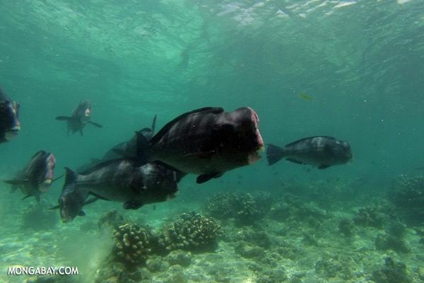 Green humphead parrotfish [sabah_underwater_0196]