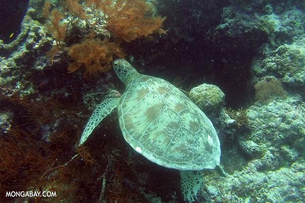 Sea turtle [sabah_underwater_0226]