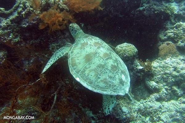 Sea turtle [sabah_underwater_0227]