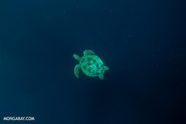 Sea turtle [sabah_underwater_0238]