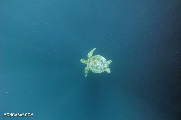 Sea turtle [sabah_underwater_0240]
