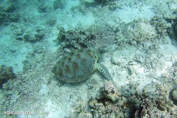 Sea turtle in Malaysia [sabah_underwater_0268]