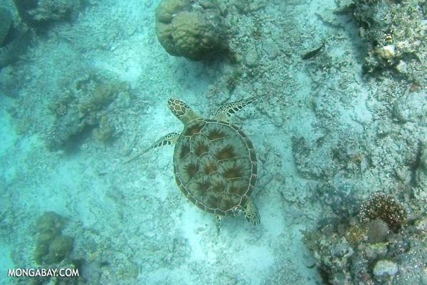 Sea turtle in Malaysia [sabah_underwater_0271]