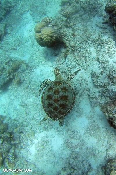 Sea turtle in Malaysia [sabah_underwater_0272]