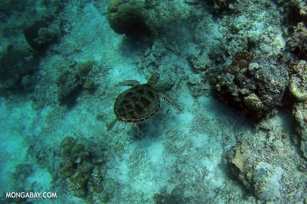Sea turtle in Malaysia [sabah_underwater_0275]