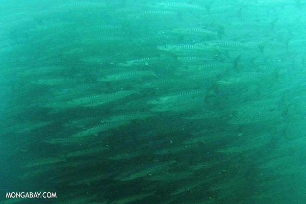 Chevron barracuda [sabah_underwater_0306]