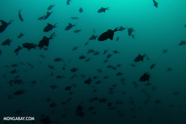 Triggerfish [sabah_underwater_0329]